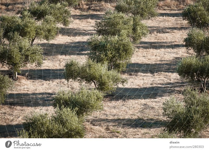 Olea europaea Natur Pflanze Baum Landschaft Umwelt Ernährung Landwirtschaft Bioprodukte Forstwirtschaft Vegetarische Ernährung Nutzpflanze Oliven Olivenbaum