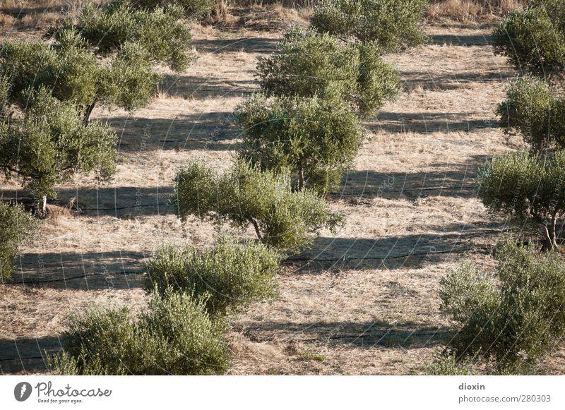Olea europaea Natur Pflanze Baum Landschaft Umwelt Ernährung Landwirtschaft Bioprodukte Forstwirtschaft Vegetarische Ernährung Nutzpflanze Oliven Olivenbaum Olivenöl Olivenhain Olivenernte
