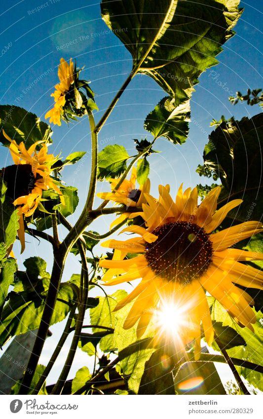 Sonnenblumen Natur Sommer Pflanze Sonne Blume Freude Erholung Umwelt Glück Blüte Garten Wetter Klima Zufriedenheit Fröhlichkeit Schönes Wetter