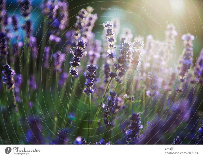 lilavendel Umwelt Natur Pflanze Blume Sträucher Duft natürlich grün violett Lavendel Lavendelfeld Farbfoto Außenaufnahme Menschenleer Tag Licht Sonnenlicht