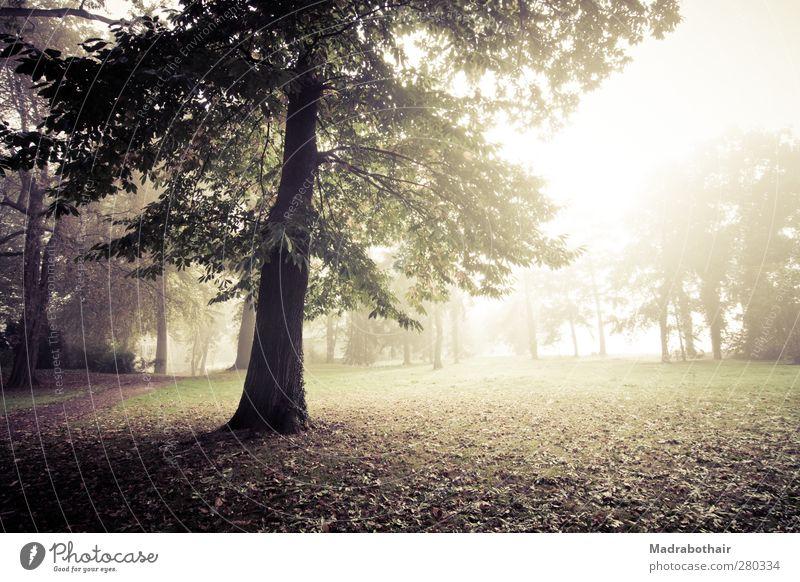 nebliger Morgen im Park Natur Landschaft Pflanze Sonnenlicht Herbst Nebel Baum Gras Blatt Laubbaum Wiese Wald ruhig Umwelt Vergänglichkeit Wandel & Veränderung