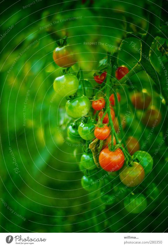 pubertäre kuschelgruppe Gemüse Tomate Gesunde Ernährung Nutzpflanze Tomatenstrauch Nachtschattengewächse grün rot reif unreif Strauchtomate Wachstum Farbfoto