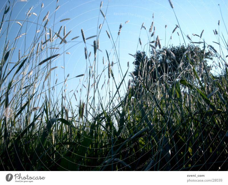 Grasgeflüster Wiese grün Halm Blatt Sommer Himmel blau