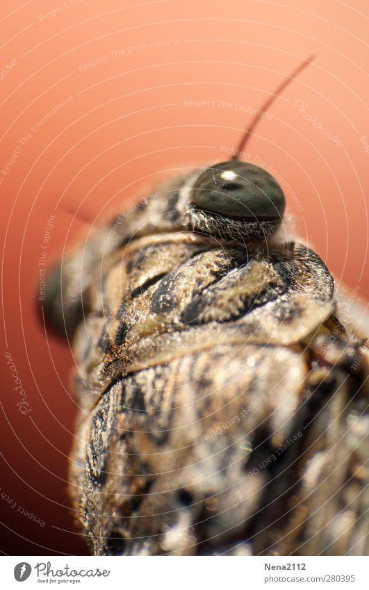 Singzikade der Provence näher Tier Sommer Tiergesicht 1 nah braun Zikade singzikade Insekt Süden mediterran Auge laut klein Farbfoto Außenaufnahme Nahaufnahme