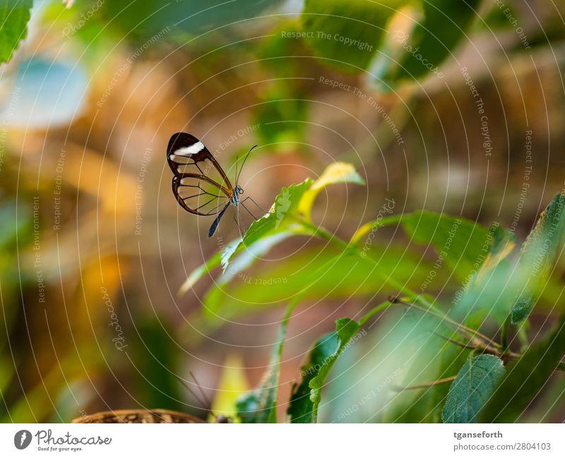 durchsichtiger Schmetterling Umwelt Natur Pflanze Tier Wildtier Zoo 1 beobachten hocken sitzen außergewöhnlich exotisch niedlich mehrfarbig Tierliebe Ausdauer
