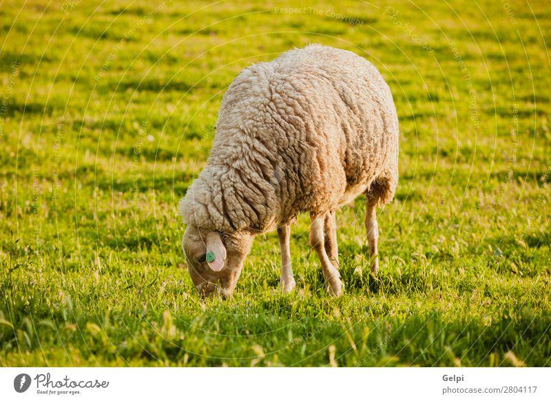 Spanische Schafe im Herbst Winter Natur Landschaft Tier Himmel Wetter Nebel Gras Wiese Herde Fressen grün weiß Feld Großgrundbesitz Bauernhof ländlich Lamm