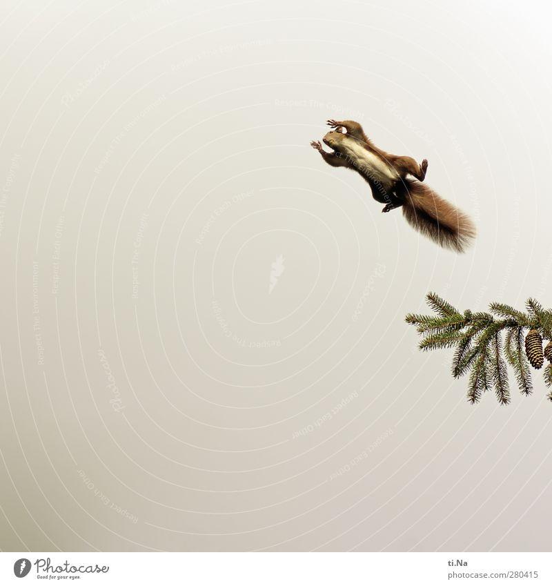 Und täglich fliegt das Hörnchen Baum Tanne Zapfen Garten Wildtier Eichhörnchen 1 Tier fliegen frei hoch schön natürlich Neugier wild braun grün rot Farbfoto