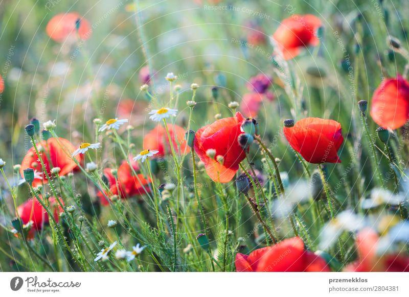 Mohnblumen und andere Pflanzen auf dem Feld Kräuter & Gewürze schön Sommer Garten Natur Blume Gras Blüte Wiese hell wild grün rot Idylle Hintergrund
