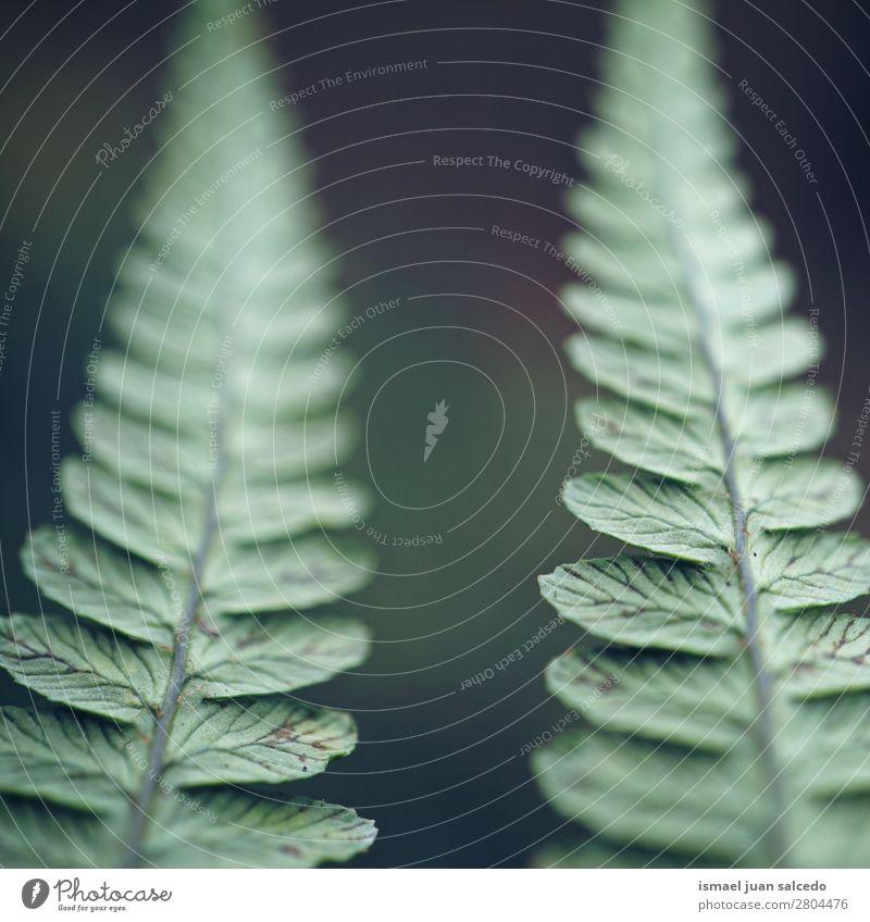 grüne Farnblätter Wurmfarn Pflanze Blatt abstrakt Konsistenz Garten geblümt Natur Dekoration & Verzierung Außenaufnahme zerbrechlich Hintergrundbild Winter