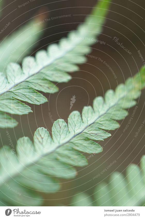 grüner Farn Pflanze Blätter Wurmfarn Blatt abstrakt Konsistenz Garten geblümt Natur Dekoration & Verzierung Außenaufnahme zerbrechlich Hintergrundbild Winter