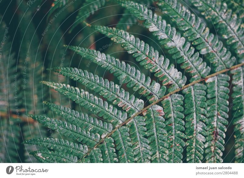 Natur Sommer Pflanze grün Blatt Winter Hintergrundbild Herbst Frühling Garten Dekoration & Verzierung Konsistenz zerbrechlich Farn geblümt Wurmfarn