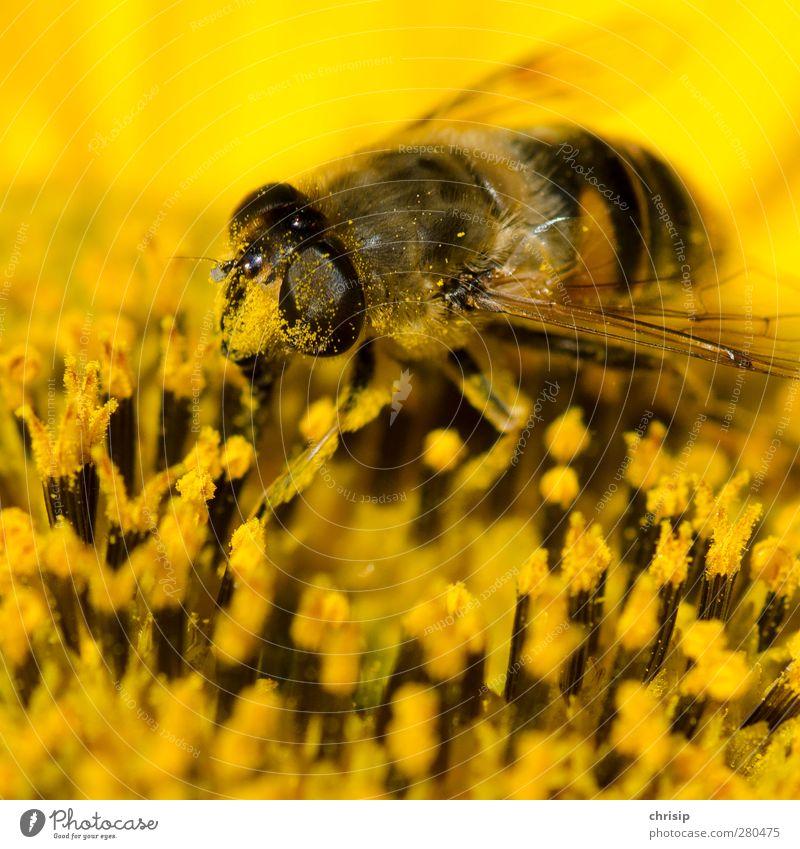 die Nase pudern Pflanze Blume Tier schwarz gelb Blüte Arbeit & Erwerbstätigkeit dreckig Erfolg Flügel Blühend Biene Duft Samen Sonnenblume Pollen