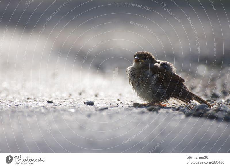 Ein Spatz pfeifft... HAPPY BIRTHDAY, GLÜCKIMWINKL Tier Tierjunges klein Vogel braun fliegen Wildtier sitzen Feder niedlich beobachten hören Spatz Tierliebe Pfeifen Sperlingsvögel