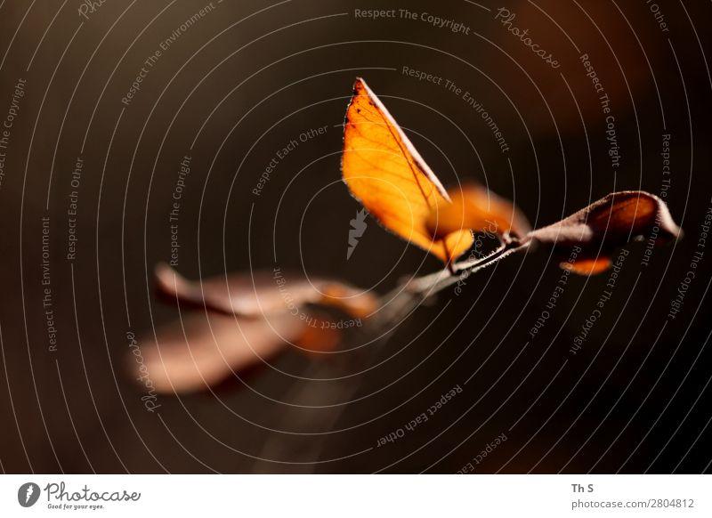 Blatt Natur Pflanze schön ruhig Winter Herbst natürlich orange braun elegant ästhetisch authentisch einzigartig einfach Freundlichkeit