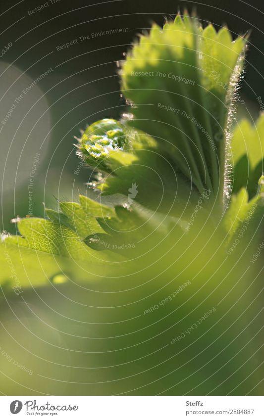 Naturerwachen Frauenmantel Frauenmantelblatt Tropfen Jungpflanze Blattknospe Heilpflanzen Mai Vorfreude natürlich neu grün ruhig Beginn Tau Frische