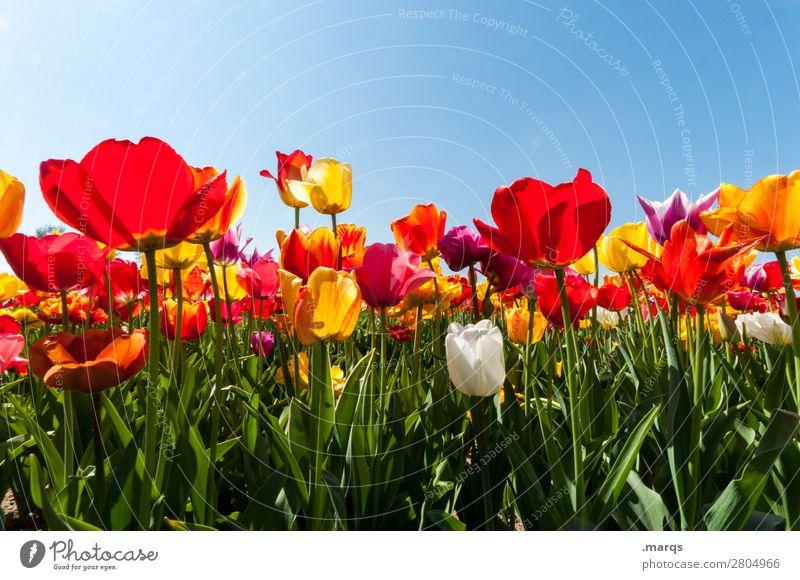 Tulpen Natur Pflanze Wolkenloser Himmel Frühling Schönes Wetter Blume Tulpenfeld Tulpenblüte Blühend schön Frühlingsgefühle Farbfoto Außenaufnahme Menschenleer