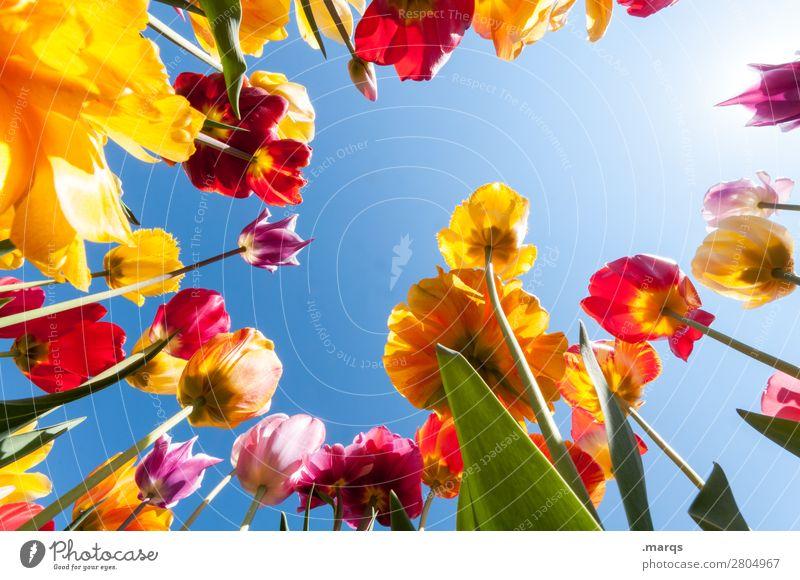 Tulpen Umwelt Pflanze Wolkenloser Himmel Frühling Schönes Wetter Blume Tulpenfeld Tulpenblüte Blühend schön Frühlingsgefühle Natur Perspektive Farbfoto