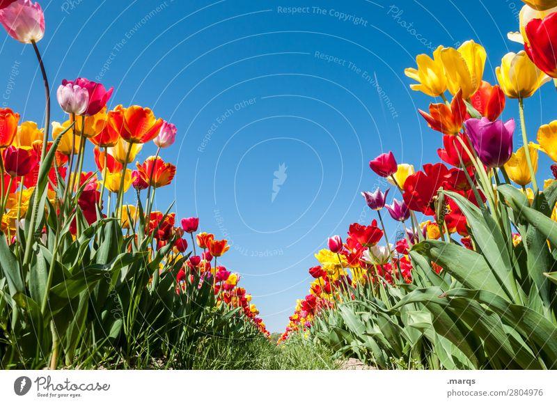 Tulpenfeld Natur Pflanze Wolkenloser Himmel Frühling Schönes Wetter Blume Fluchtpunkt Reihe Blühend schön Frühlingsgefühle Perspektive Symmetrie Farbfoto