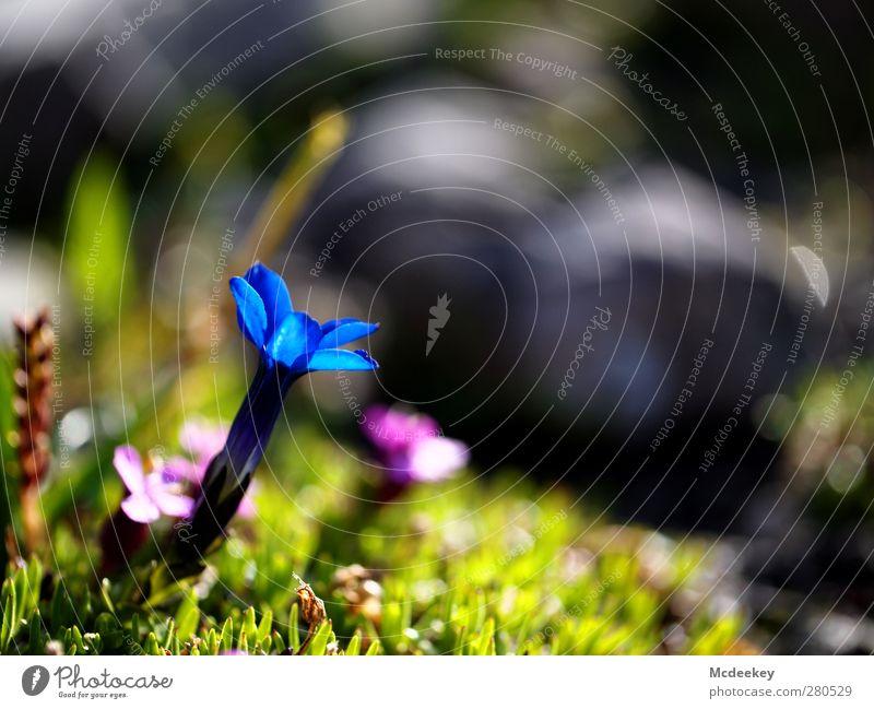 Blue Light Umwelt Natur Landschaft Pflanze Sonne Sommer Gras Blatt Blüte Wildpflanze Felsen Berge u. Gebirge authentisch schön natürlich blau braun mehrfarbig