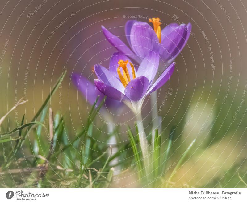 Krokusse in der Frühlingssonne Natur Landschaft Pflanze Sonnenlicht Schönes Wetter Blume Gras Blüte Wiese Blühend Duft leuchten Wachstum nah natürlich blau gelb