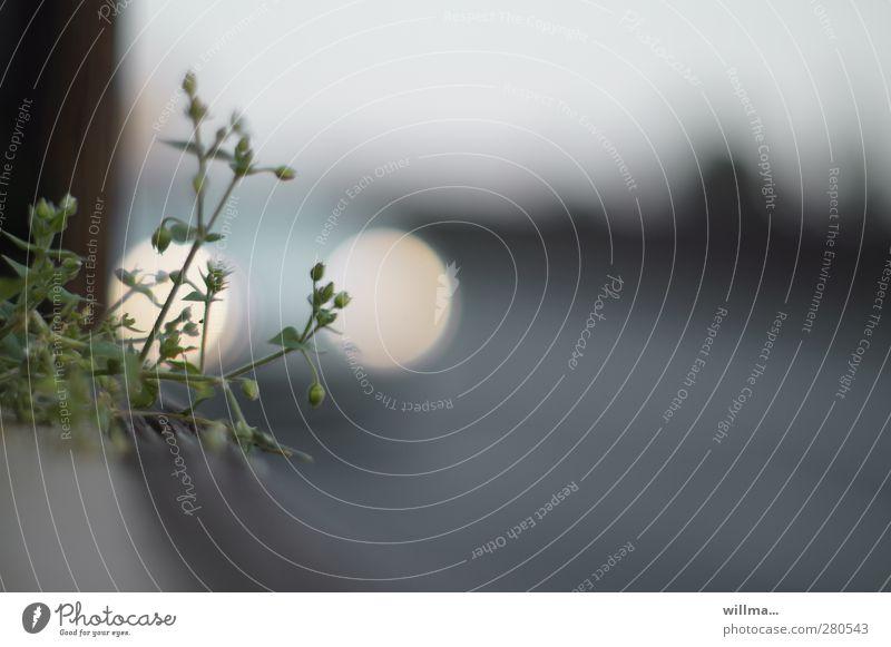 am straßenrand Pflanze Blume Wildpflanze Miere Straße Straßenrand Autoscheinwerfer grau weiß Einsamkeit Umwelt Überleben Gedeckte Farben Außenaufnahme