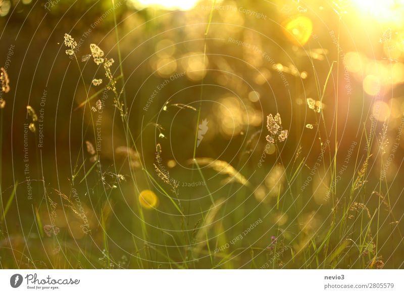Gräser im sommerlichen Garten Umwelt Natur Frühling Sommer Gras Nutzpflanze Park Wiese schön natürlich gelb gold Lebensfreude Frühlingsgefühle Warmherzigkeit