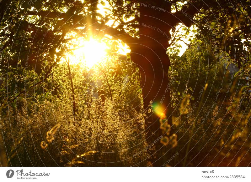 Sonnenuntergang im Garten Natur Schönes Wetter Pflanze Baum Gras Sträucher Grünpflanze Nutzpflanze Wildpflanze Park Wiese gelb Lebensfreude Frühlingsgefühle