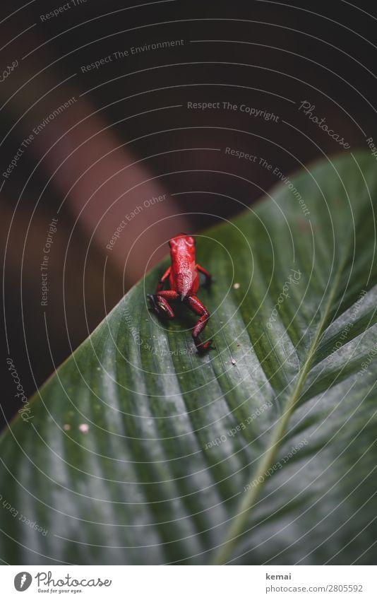 Der giftige Frosch harmonisch Ferien & Urlaub & Reisen Abenteuer Safari Expedition Natur Tier Schönes Wetter Pflanze exotisch Blatt Urwald Costa Rica Wildtier