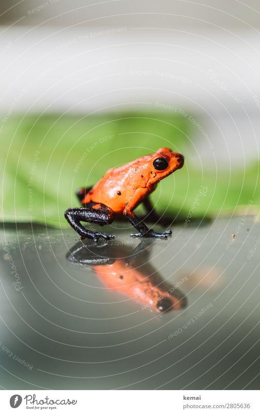 Kleiner roter Frosch (giftig) Ferien & Urlaub & Reisen Natur Sommer schön Tier Blatt ruhig klein außergewöhnlich orange Freizeit & Hobby glänzend Wildtier Glas
