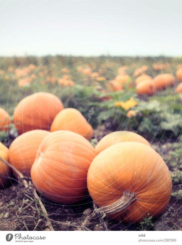 Kürbisfeld Natur Pflanze Landschaft Umwelt Herbst orange Feld natürlich Lebensmittel Gesunde Ernährung Landwirtschaft Gemüse Bioprodukte Halloween herbstlich