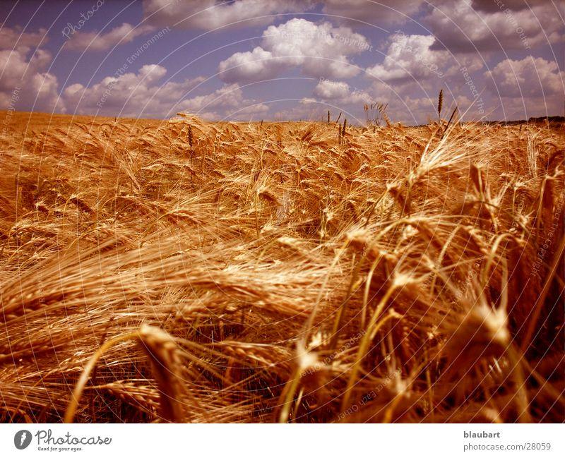 Golden Ära blau Wolken Feld gold Weizen Bronze