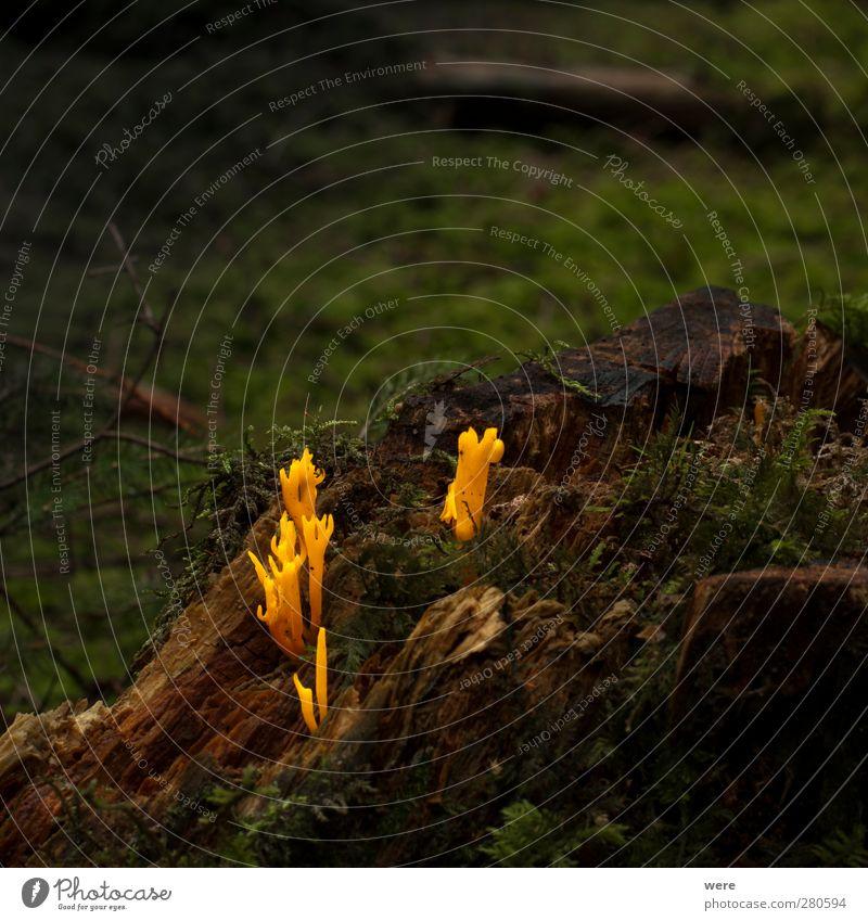 Ziegenbart Natur Baum Wald gelb Umwelt Herbst Holz Pilz Kinnbart