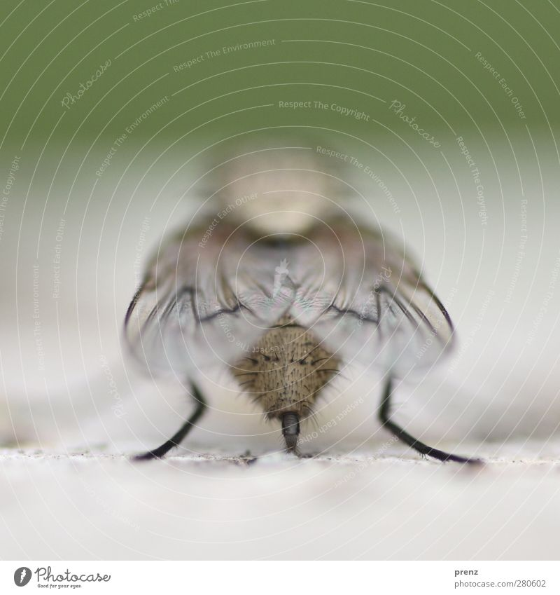 fly Umwelt Natur Tier Wildtier Fliege Flügel 1 grau grün Hinterteil Makroaufnahme Nahaufnahme Insekt Farbfoto Außenaufnahme Menschenleer Textfreiraum oben Tag