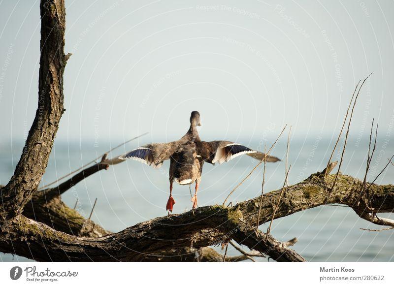 Start Tier Ente 1 Bewegung fliegen Beginn Horizont Leichtigkeit Natur rein Flügel Baumstamm Ast Meer Wasser Luft Wind Farbfoto Textfreiraum oben Tag