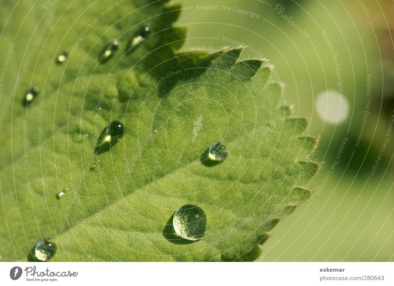 Frauenmantel Alchemilla vulgaris Kräuter & Gewürze Tee Gesundheit Alternativmedizin Medikament Natur Pflanze Wasser Wassertropfen Sonnenlicht Sommer Blatt