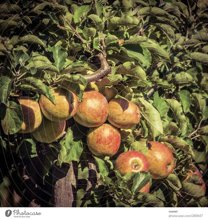 Apfelbaum Natur Pflanze grün Sommer Baum rot Umwelt gelb Herbst Gesundheit Garten Lebensmittel Frucht Wachstum frisch Ernährung