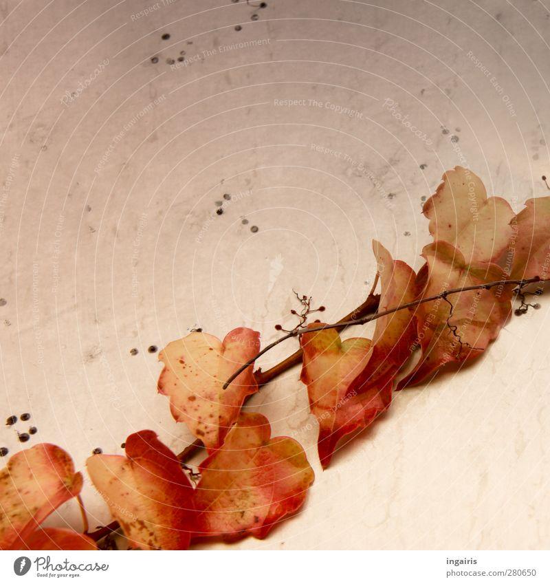 Herbstlich wilde Weinblätter Pflanze Blatt Kletterpflanzen Herbstlaub Wilder Wein Mauer Wand Fassade dehydrieren Wachstum braun gelb orange rosa rot schwarz