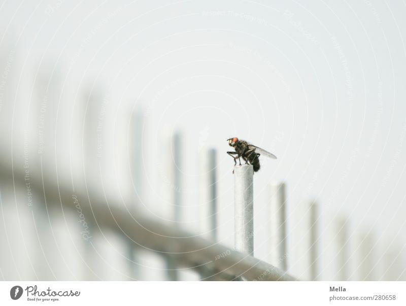 Startposition Umwelt Tier Fliege Insekt 1 Stab Gitter Zaun Metall hocken sitzen hell klein grau gleich Pause Farbfoto Außenaufnahme Menschenleer