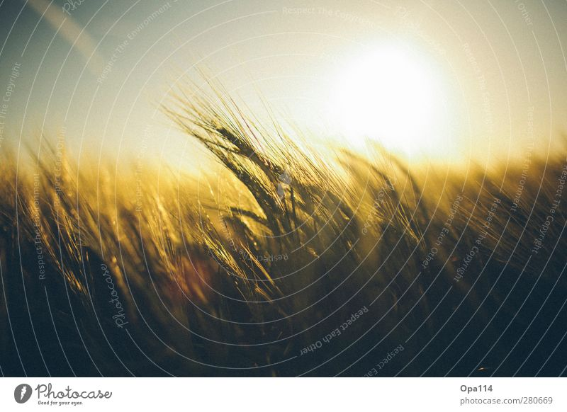 Golden Light Umwelt Natur Landschaft Pflanze Tier Himmel Sonnenaufgang Sonnenuntergang Sonnenlicht Sommer Klima Wetter Schönes Wetter Nutzpflanze Feld atmen