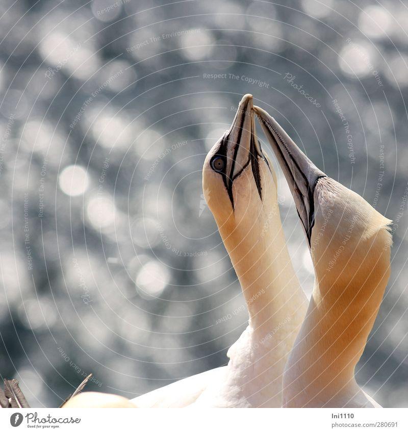 Basstölpel Natur schön Sommer weiß Tier Umwelt gelb natürlich Küste grau außergewöhnlich Vogel Zusammensein Kopf glänzend Wildtier