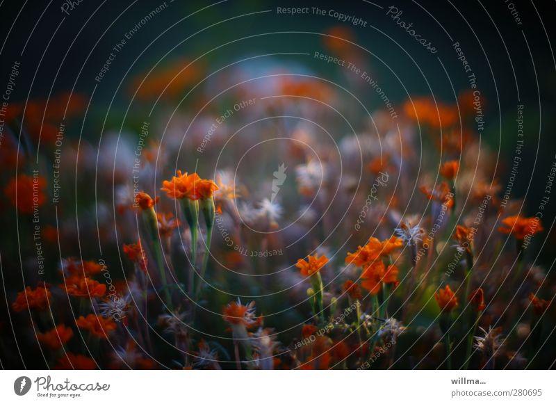 Blumenwiese mir orangen kleinen Blümchen Natur Pflanze Sommer Garten schwarz Schattenpflanze Blüte dunkel leuchtende Farben Farbfoto Außenaufnahme Menschenleer
