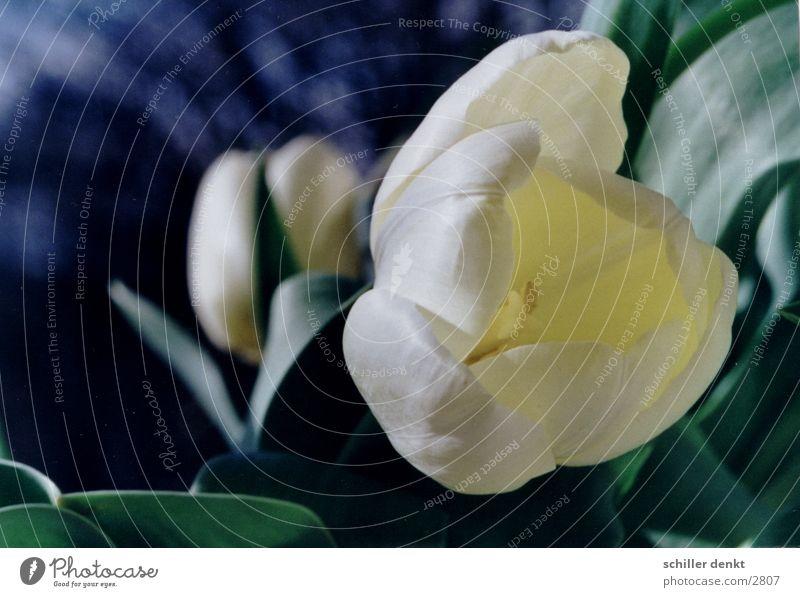 tulpe Blume Blatt Tulpe