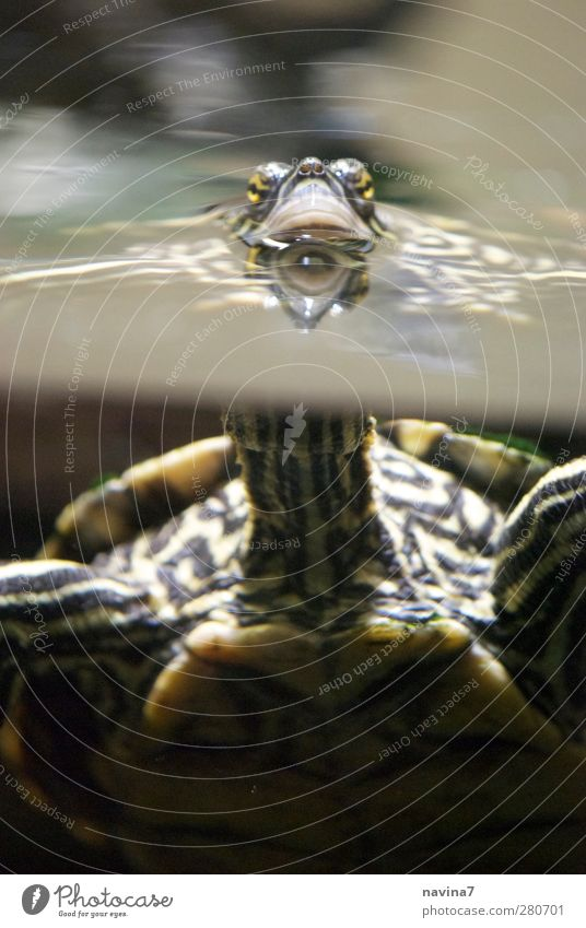 was gugsch du ? Luft Wasser Haustier Zoo Schildkröte 1 Tier atmen füttern Schwimmen & Baden grün beobachten Aquarium Hals Farbfoto Innenaufnahme Menschenleer