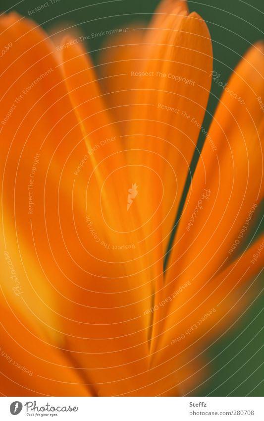intensiv Natur Pflanze Blume Blüte Blütenblatt Blütenpflanze Blütenkelch Blühend orange Farbe Warme Farbe gelb-orange Farbverlauf Farbton knallig Makroaufnahme