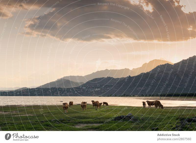 Landschaft mit See und Weide in Manzanares el Real, Madrid. Spanien Kuh Reflexion & Spiegelung Himmel Blume Natur Wiese Feld Rind ländlich Fluss grün Wasser