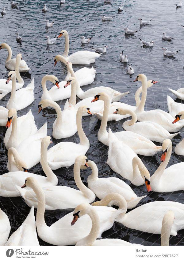 Large group of white swans and seagulls Natur Tier Wasser Teich See Wildtier Vogel Schwan Flügel Tiergruppe Schwimmen & Baden schön blau grau weiß chaotisch