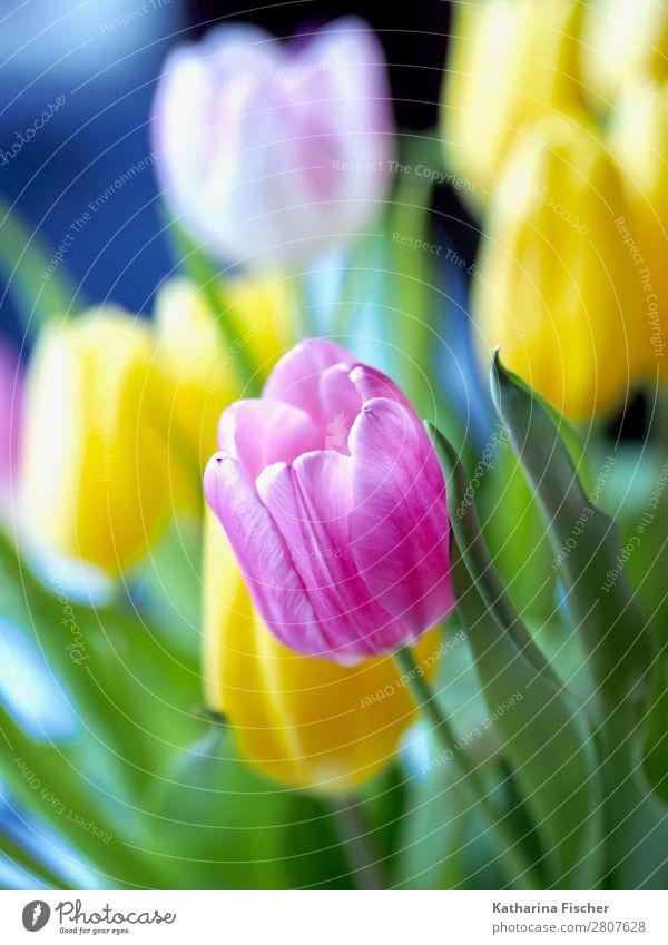 rosa gelb weiß Tulpenstrauß Kunst Natur Pflanze Frühling Sommer Herbst Winter Blume Blatt Blüte Blumenstrauß Blühend leuchten Wachstum frisch schön grün türkis