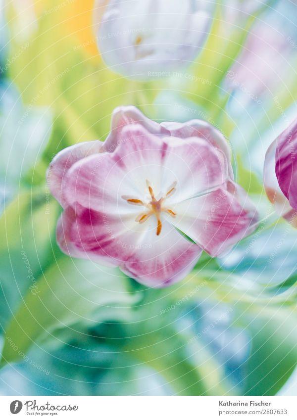 Tulpe rosa rot Blumenstrauß Natur Sommer Pflanze schön grün weiß Blatt Winter Herbst gelb Blüte Frühling Kunst orange
