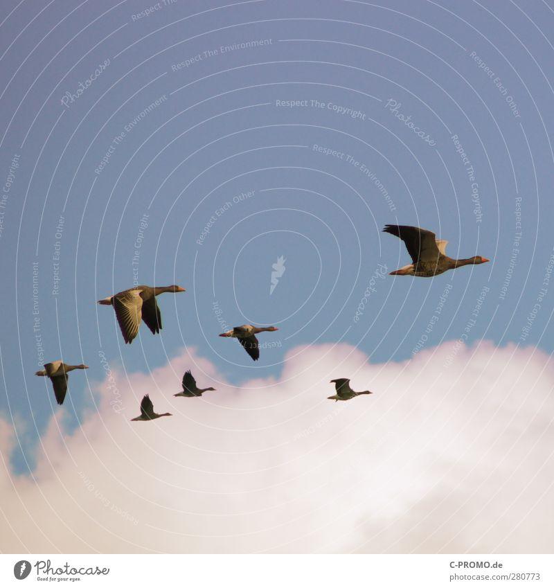 Gen Süden, Brüder >>> Luft Himmel Wolken Tier Wildtier Schwarm fliegen blau weiß Mut Zusammensein Ausdauer Fernweh Fürsorge Ferien & Urlaub & Reisen