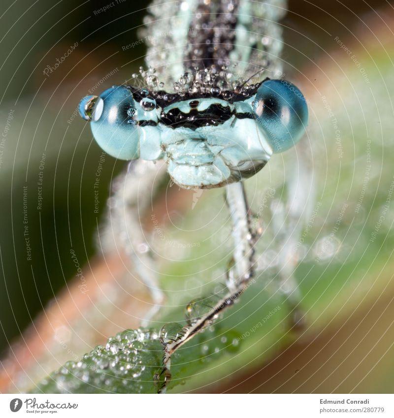 Morgentau - Libelle Wildtier Tiergesicht 1 Jagd Idylle Makroaufnahme Tau Farbfoto Außenaufnahme Reflexion & Spiegelung Schwache Tiefenschärfe Tierporträt
